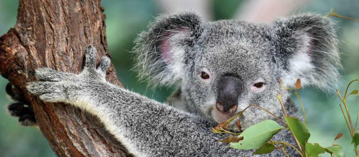 koala-travel-australia